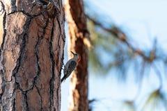 carolinus Vermelho-inchado do Melanerpes do woodpecker Fotos de Stock