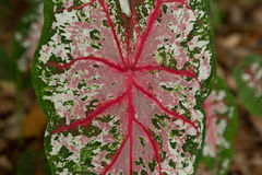 Carolyn Whorton Pink Caladium Stock Image