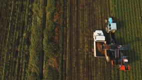 Carota che raccoglie al campo del ` s dell'agricoltore Fotografia Stock Libera da Diritti