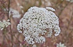 Carota de Daucus de fleur de dentelle de la Reine Anne Images libres de droits