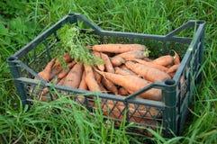 Carota del raccolto nella scatola Immagini Stock Libere da Diritti