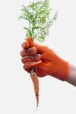 Carota fresca dal lavoro di pulizia del giardino nel giardino in Fotografia Stock Libera da Diritti