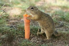 Carota mordace europea dello scoiattolo a terra Fotografie Stock