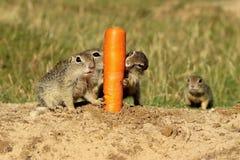 Carota mordace europea dello scoiattolo a terra Fotografia Stock