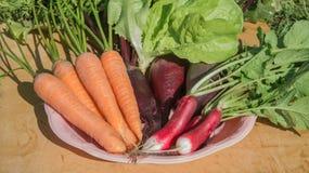 Carota organica fresca, insalata, ravanello, barbabietola con le foglie verdi in piatto su fondo di legno Fotografia Stock Libera da Diritti