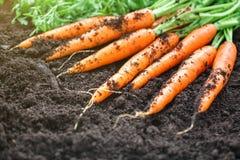 Carote che selezionano nel giardino Carote sulla terra del giardino Agricoltura del raccolto Fotografie Stock