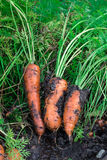 Carote coperte in suolo fresco da suolo Fotografie Stock