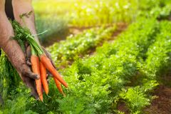 Carote del harvestFresh della carota in mani dell'agricoltore Fotografia Stock Libera da Diritti