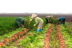 Carote del raccolto degli agricoltori sul campo Fotografie Stock Libere da Diritti