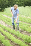 Carote di rastrellamento del campo dell'azienda agricola di Working In Organic dell'agricoltore Immagine Stock