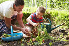 Carote di And Son Harvesting del padre su assegnazione Fotografia Stock