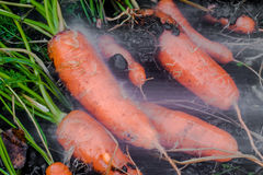 Carote fresche coperte nel lavaggio del suolo Fotografia Stock Libera da Diritti