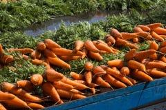 Carote fresche dall'azienda agricola Immagini Stock Libere da Diritti