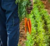 Carote fresche in mani degli agricoltori Immagine Stock
