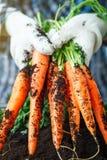 Carote fresche selezionate dal giardino in mani Carote sulla terra del giardino Agricoltura del raccolto Fotografia Stock Libera da Diritti
