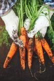 Carote fresche selezionate dal giardino in mani Carote sulla terra del giardino Agricoltura del raccolto Fotografie Stock