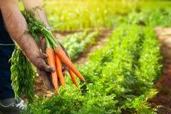 Carote in mani dell'agricoltore Raccolto della carota Fotografia Stock Libera da Diritti