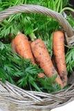 Carote organiche in cestino Immagine Stock