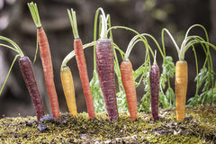 Carote organiche dell'arcobaleno Fotografia Stock Libera da Diritti