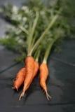 Carote organiche fresche Fotografia Stock