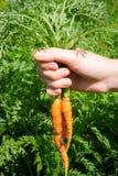 Carote scavate fresche nelle mani di un agricoltore sui precedenti delle foglie Fotografie Stock