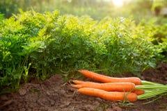 Carote sulla terra del giardino Raccolto della carota Immagine Stock Libera da Diritti