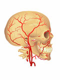 Carotid artery Royalty Free Stock Images