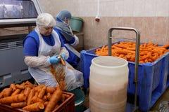 Carotte d'épluchage de travailleur dans une usine de traitement des denrées alimentaires des produits alimentaires photographie stock libre de droits
