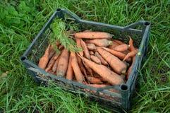 Carotte de récolte dans la boîte Photographie stock libre de droits