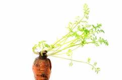 Carotte végétale avec les pousses vertes sur un fond blanc Photos libres de droits