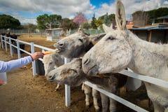 Carottes d'amour d'ânes toutes les fois qu'et toujours photographie stock