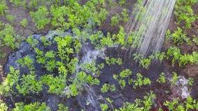 Carottes de vert de Watering de jardinier sur le lit de jardin banque de vidéos