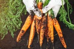 Carottes fraîches sélectionnées du jardin dans des mains Carottes sur l'au sol de jardin Agriculture de récolte Photographie stock