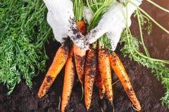 Carottes fraîches sélectionnées du jardin dans des mains Carottes sur l'au sol de jardin Agriculture de récolte Images stock