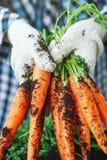Carottes fraîches sélectionnées du jardin dans des mains Carottes sur l'au sol de jardin Agriculture de récolte Image libre de droits