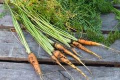 Carottes récemment récoltées du jardin organique Images libres de droits