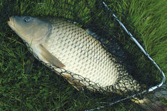 Carp. In the drop net royalty free stock photo