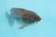 Carp. Fish looking from the blue water Royalty Free Stock Photo