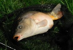 Carp. Line fishing - leather carp on landing net Royalty Free Stock Photos