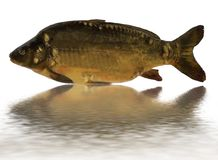 Carp. Common carp with a reflection Stock Images
