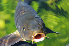 Carp. Looking from green water Royalty Free Stock Image