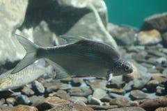 Carp. Alive Baikal`s carp fish under the water Stock Photo