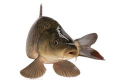 Carp. Has tasty dietary meat. Fishing   great pleasure Stock Photo