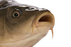 Carp. Has tasty dietary meat. Fishing   great pleasure Royalty Free Stock Image