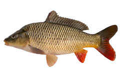 Carp. Has tasty dietary meat. Fishing   great pleasure Stock Image