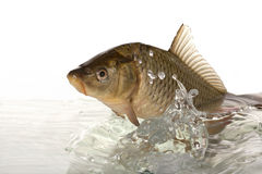 Carp. Big carp floats in transparent water Stock Photography