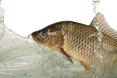 Carp. Big carp floats in transparent water Stock Image