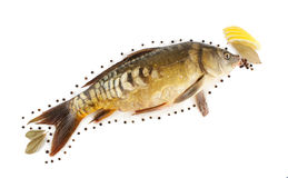 Carp. Whole mirror carp ( Carpio L ) isolated on white Royalty Free Stock Photo