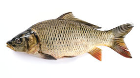 Carp. Common Carp Isolated on White Background Royalty Free Stock Photography