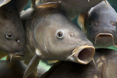 Carp. Close-up of a shoal of common carp, Cyprinidae Carpio Stock Photos
